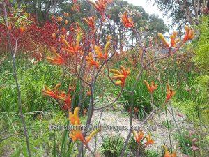 Anigozanthos flavidus orange hybrid
