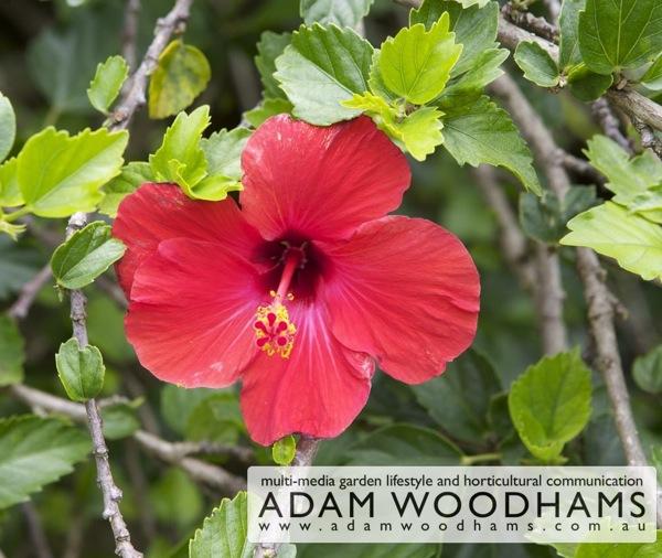 Norfolk Island hibiscus