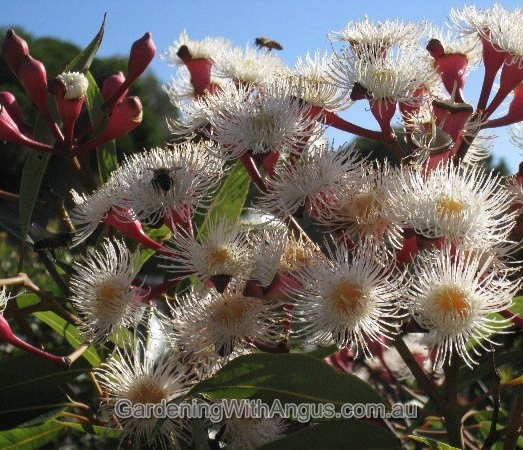 Corymbia-colour-forms-001