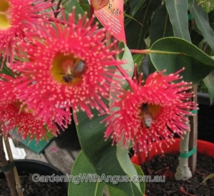 Corymbia-colour-forms-002