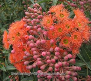 Corymbia-colour-forms-003