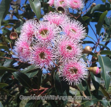 Corymbia-colour-forms-004