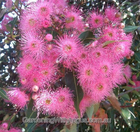 Corymbia-colour-forms-005