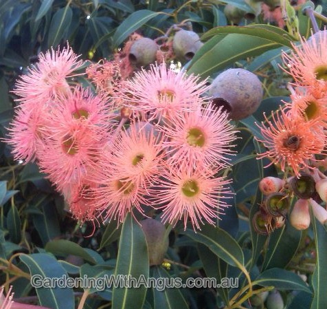 Corymbia-colour-forms-006