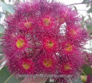 Corymbia-colour-forms-007