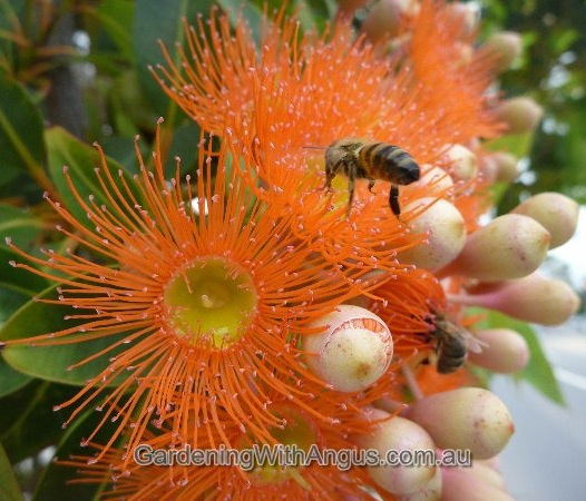 Corymbia-colour-forms-009
