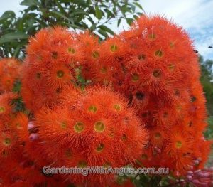 Corymbia-colour-forms-010