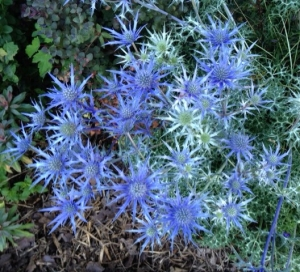 Eryngium bourgatii, or sea holly