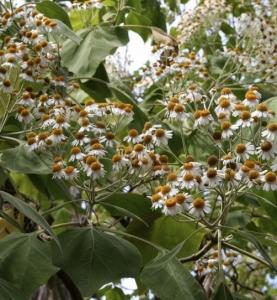 Giant tree daisy, Podachaenium eminens