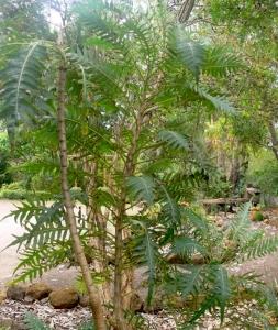 Dramatic foliage of Sonchus arboreus