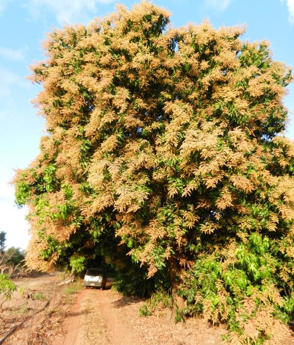 Delightful Mango Tree Not Producing Fruit Part - 5: Mango Tree