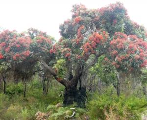 Ancient Corymbia ficifolia near Walpole
