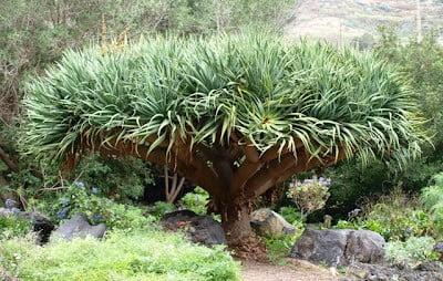 Dragon trees, Gran Canaria