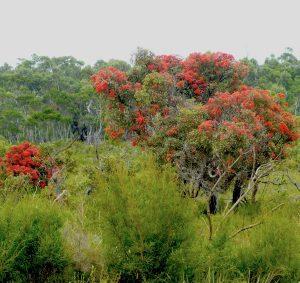 Ficifolia Rd, Nornalup WA