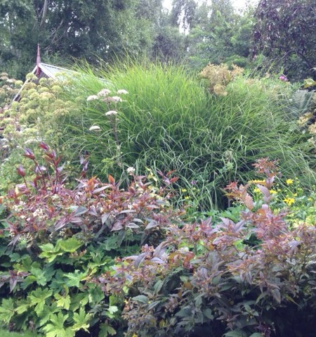 Miscanthus 'Sarahbande' in mixed border