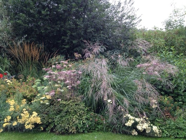 Miscanthus transmorrisonensis in a mixed border