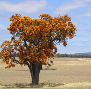 Nuytsia floribunda, WA Christmas tree