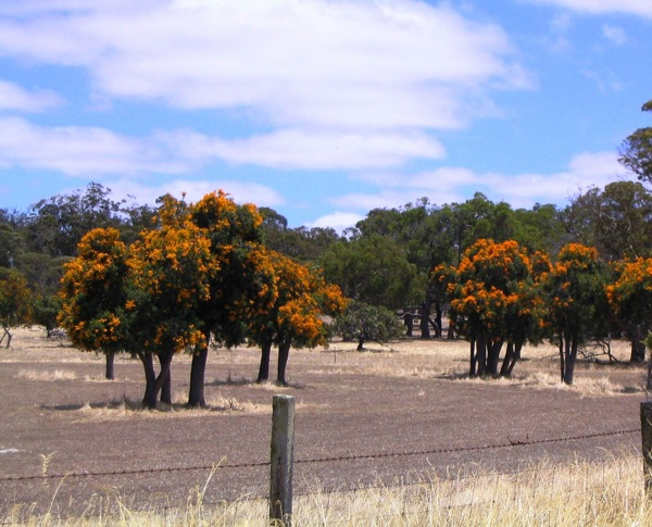 Nuytsia, 2004 - now surrounded by blue gums