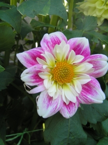 Collarette form dahlia