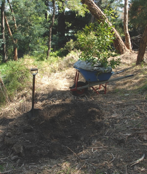 Preparing a planting spot for the transplanted macadamia on the new block