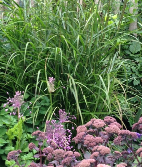 Smaller Miscanthus cultivar in mixed border