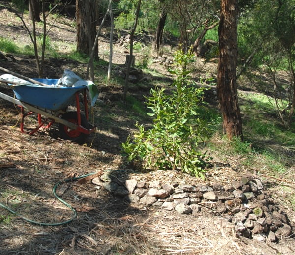Using rocks to create a supporting half-circle mound and shallow watering basin for the transplanted tree on the sloping site