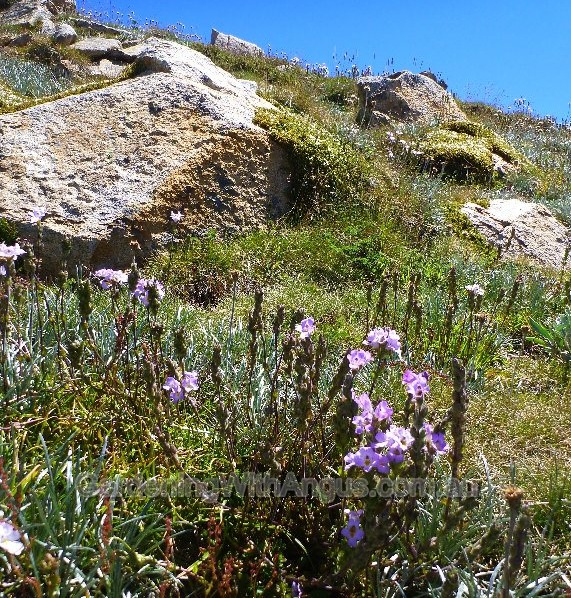 Mountain eyebright, Euphrasia collina