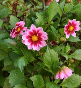 Dwarf dahlias flowers right through summer