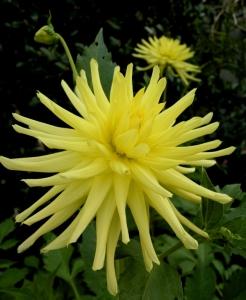 Cactus-form yellow dahlia