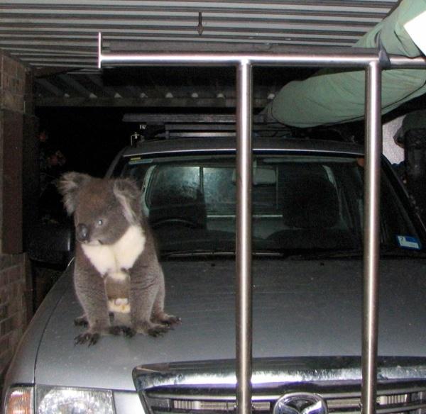 GardenDrum HM koala on...