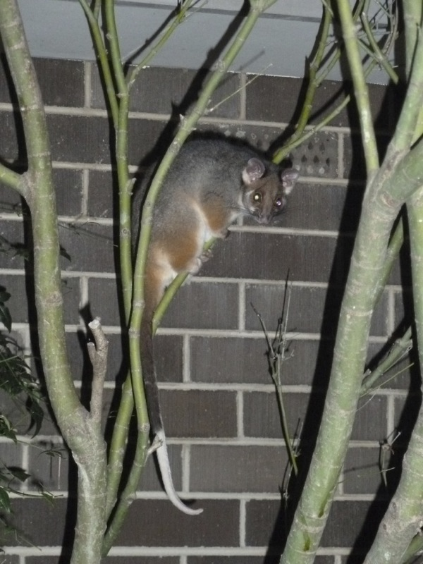 Ringtail possums might look small but they're voracious tree-destroyers
