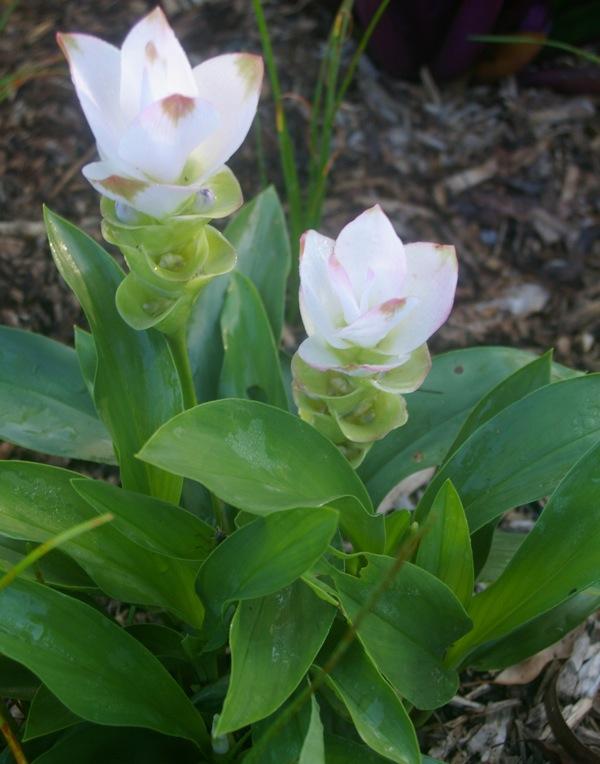 Gardendrum Aking Curcuma Siam Tulip White Gardendrum