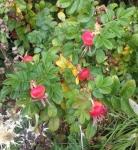 Rosa rugosa 'Hansa' hips