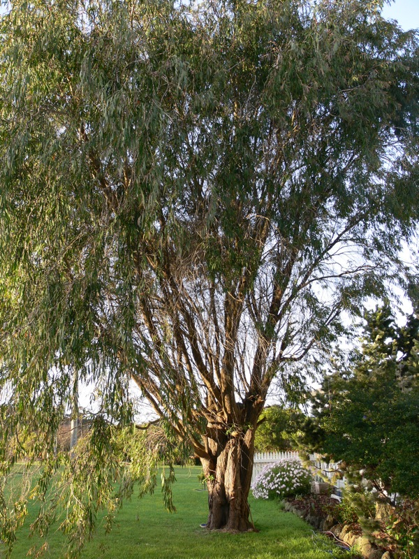 Agonis flexuosa, showing its beautiful weeping habit