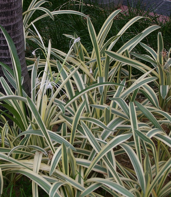 Hymenocallis Caribaea Variegata Sng 3 07 Gardendrum