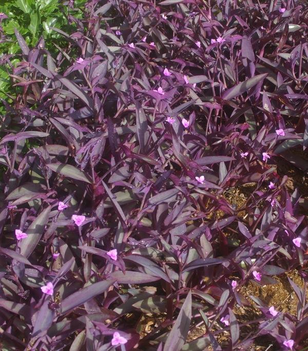 Gardening australia kale