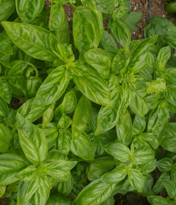 Sweet basil, Ocimum basilicum, grows exceptionally well in my subtropical garden