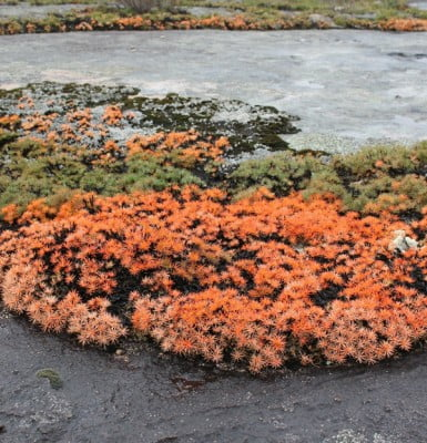 Sullivan Rock was covered with the glowing, coral autumn foliage of Borya constricta