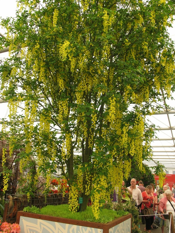 Chelsea Flower Show 2012 - spectacular Laburnum waterei 'Vossii'