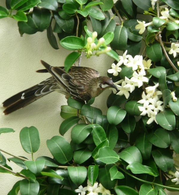 Nectar feeding native red wattle birds regularly visit my Stephanotis floribunda when it's in flower
