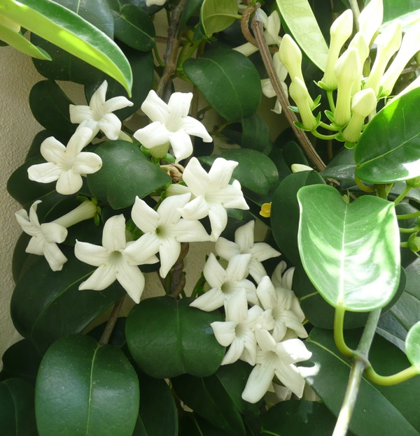 Waxy, white flowers on Stephanotis floribunda have a rich perfume