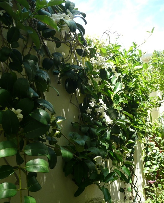 Stephanotis floribunda cascades down over my garden wall