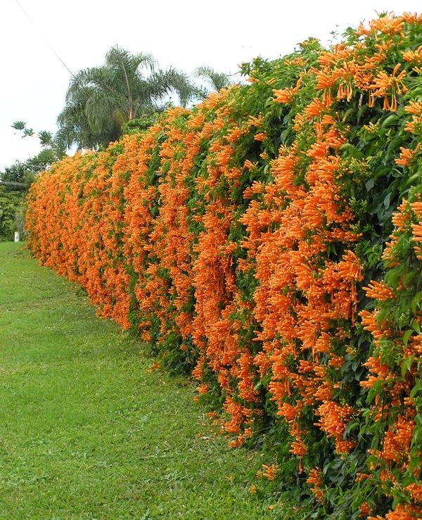 GardenDrum PDudman flame vine, Pyrostegia venusta covers a ...