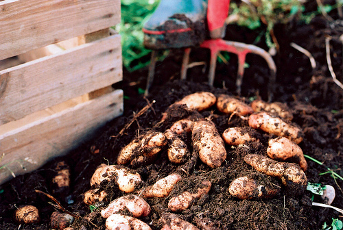 digging potatoes SkAYnska Matupplevelser