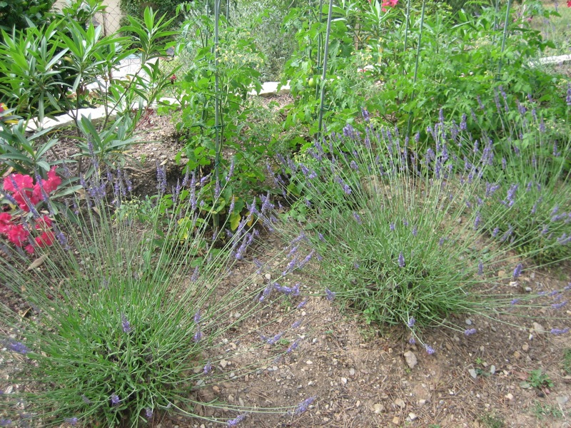 Tomato plants and lavender combine the edible with the ornamenta