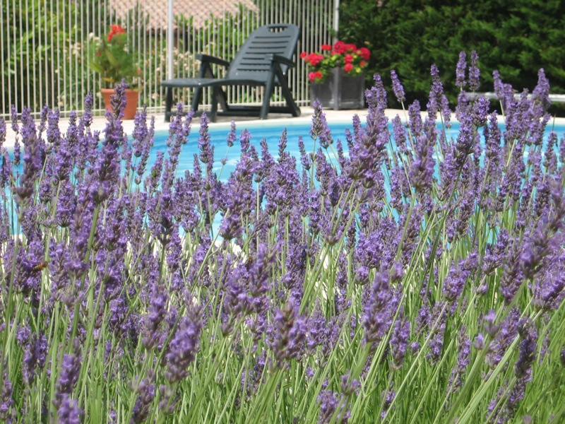 Deep purple lavender contrasts with brilliant red Pelargonium and the blue of the pool