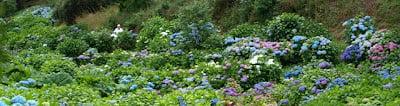Hydrangea's at Trebah Garden