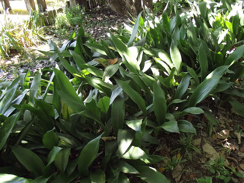Good Shade Trees For Backyard Australia : Plants for shade in temperate Australia  GardenDrum