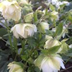 Helleborus 'Betty R'