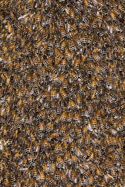 Honey bee swarm photo by kevincole
